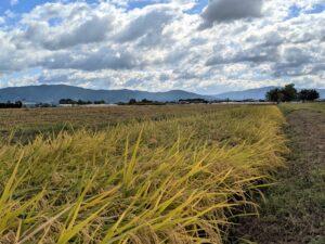 [][お知らせ]【稲刈り体験】唐古・鍵遺跡史跡公園:多重環濠で米作り